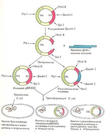 Схема использования плазмиды