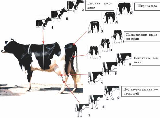 Схема крупного рогатого скота 31